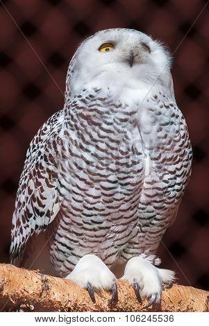 Polar owl sits on branch