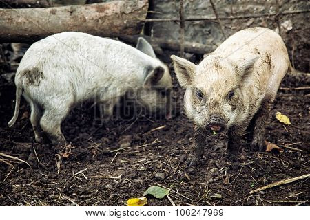 Two domestic pigs (Sus scrofa domesticus). Farm animal theme. poster