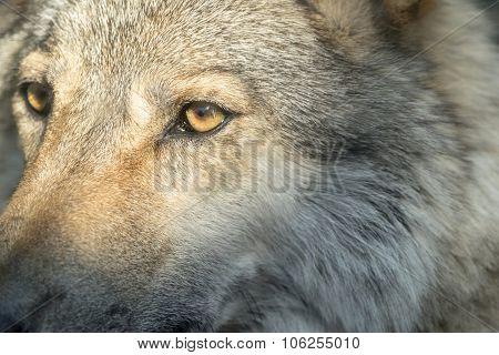 Part Muzzle Of A Gray Wolf Closeup