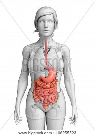 Small Intestine Anatomy Of Female