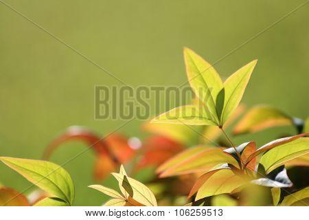 Macro Nandina Leaves