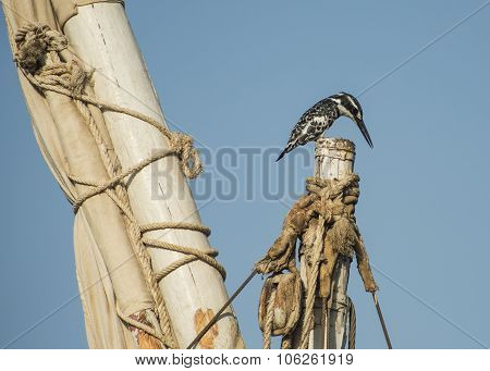 Pied Kingfisher Perched On A Mast Top