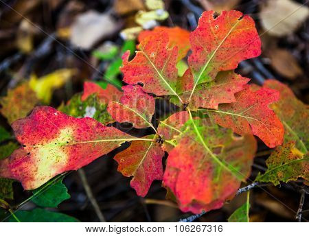 Red and green oak leaves
