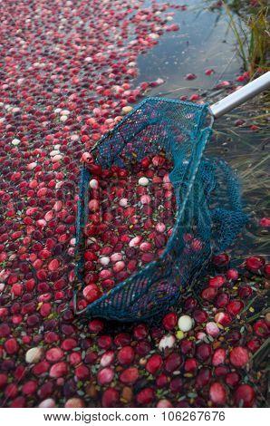 Scooping cranberries