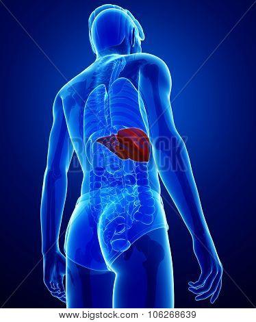 Male Liver Anatomy