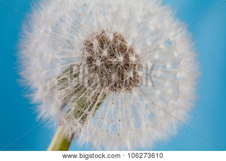Dandelion flower, blowball macro view