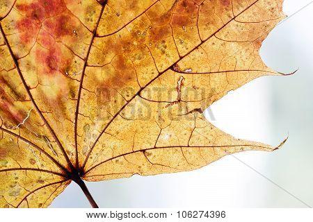 Autumnal leaf design background. Yellow, orange, brown color. transparent maple leaf.