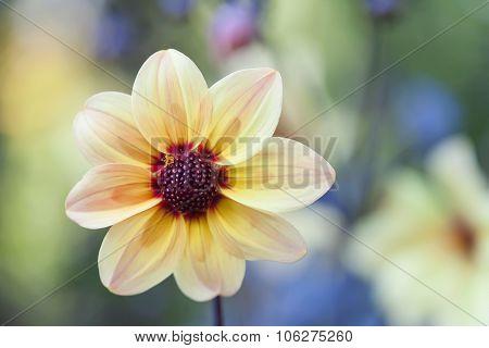Yellow petals flower with dark red center. Blooming garden flower.