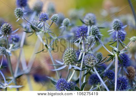 Eryngium planum. Blue Sea, violet holly healthcare flowers. soft focus, macro view