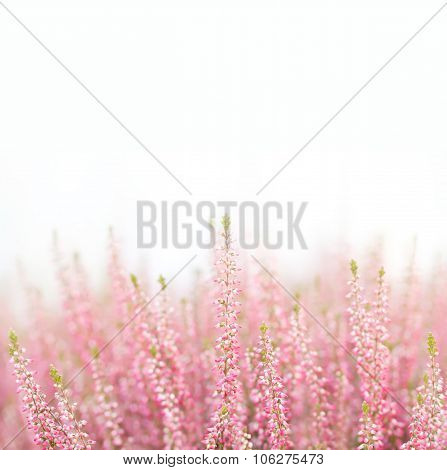 Field of natural, organic heather flowers. Small violet, pink color flower.