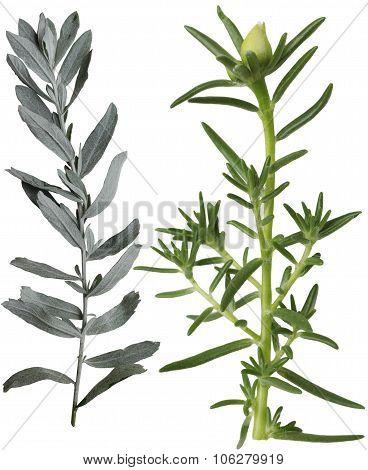 Silver Sage And Portulaca Grandiflora Leaf