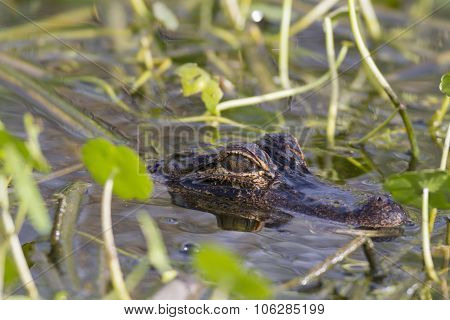 American Alligator Lying In Wait