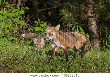 Red Fox Vixen (vulpes Vulpes) Stalked By Kit