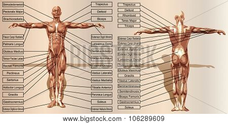 Conceptconcept or conceptual 3D human man anatomy and muscle for sport and text on beige vintage backgroundor conceptual 3D human man anatomy and muscle for sport and text on beige vintage background poster