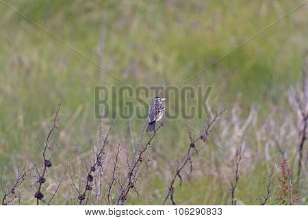 Female Spectacled Tyrant