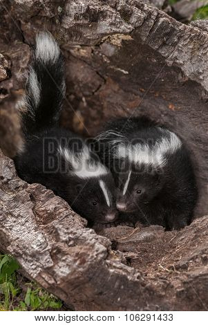 Baby Striped Skunks (mephitis Mephitis) Touch Noses