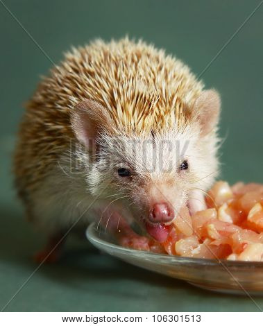 Dwarfish Hedgehog Eating Meat From The Plate