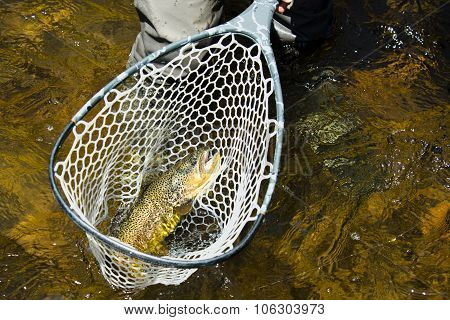 Rainbow Trout Caught In Net On Frying Pan River In Colorado Roaring Fork Valley