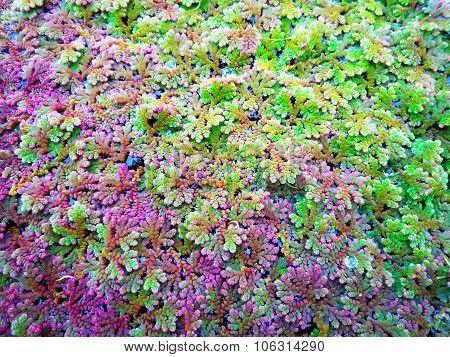 Lichens in Cook Islands