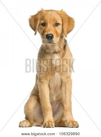 Golden Retreiver puppy sitting in front of a white background