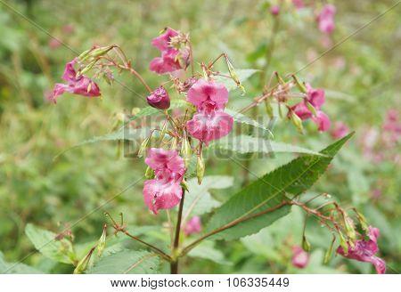 Impatiens glandulifera blossom