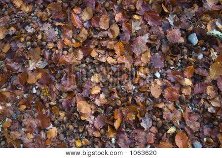Beechnut Mixture