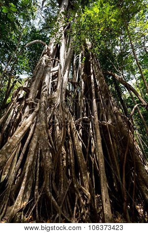 Massive Tree Is Buttressed By Roots Tangkoko Park