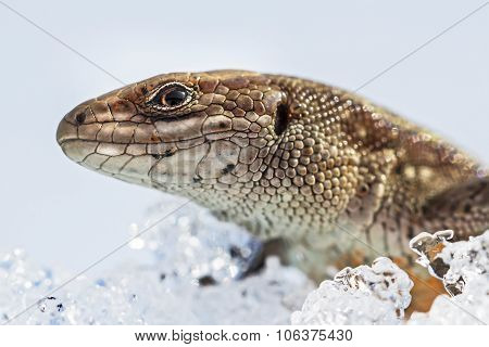 The fauna of Siberia - Sand lizard (Latin Lacerta agilis). Lizard after winter hibernation to spring