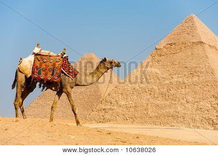 Camel Walking Pyramids