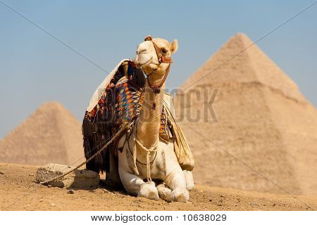 White Camel Resting Pyramids Cheops