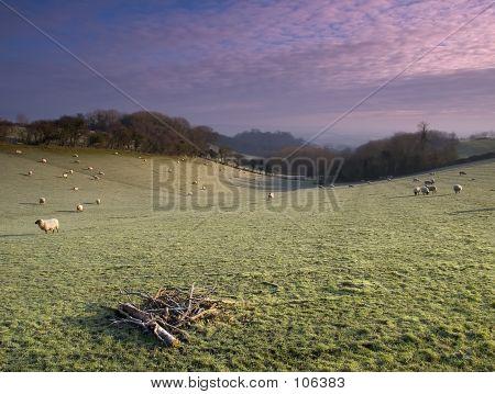 Frosty Sheep
