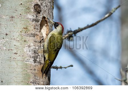 Mrs G Woodpecker