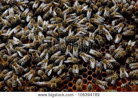 Honeybees in a hive