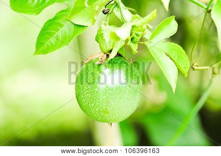 passion fruit tree on the farm , passion fruit poster