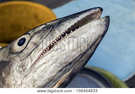 ndo-Pacific King mackerel, Spotted mackerel