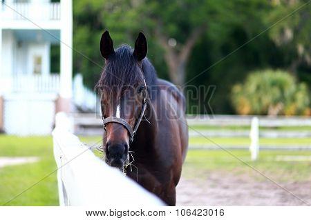 Bay Thoroughbred Stallion