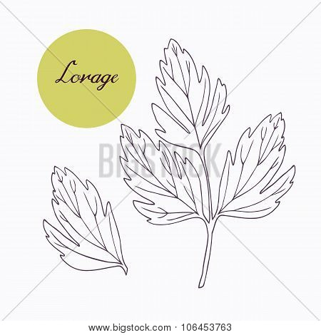 Hand drawn lovage branch with leaves isolated on white