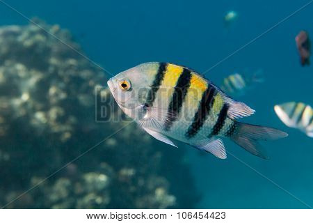 Fish Indo-pacific Sergeant Is Under Water In Red Sea