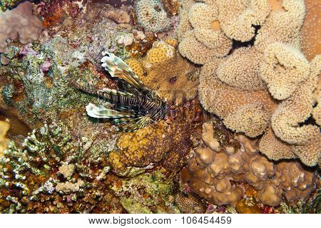 Pterois Volitans, Or Lionfish  Is Underwater In Red Sea