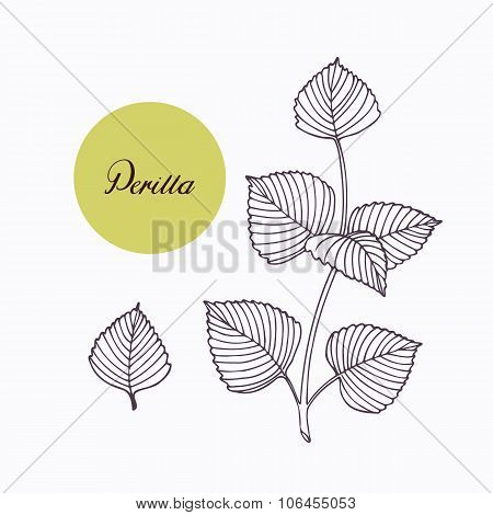 Hand drawn perilla herb branch with leaves isolated on white