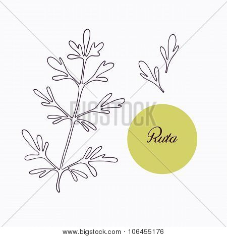 Hand drawn ruta or rue branch with leaves isolated on white