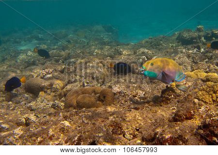 Heavybeak Parrotfish And Other Fishes Are Underwater In Red Sea