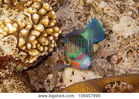 Heavybeak Parrotfish Is Underwater In Red Sea