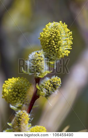 Wild shrub Siberia - goat willow flowering period (Latin Salix caprea L.)