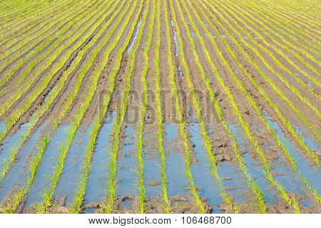 Young Rice Sprout In The Rice Field