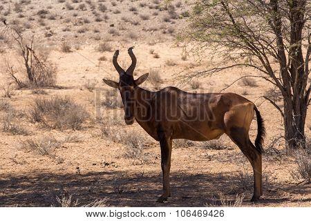 A Common Tsessebe (alcelaphus Buselaphus)the Camera