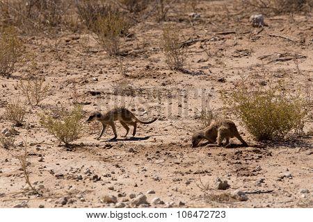 Two Meerkat Or Suricate