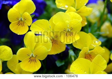 Bright Yellow Pansy 2