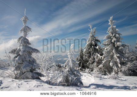 Snow Fir Trees