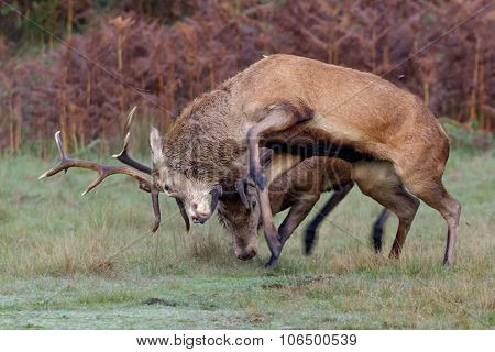 A pair of Red Deer stags fighting on a crisp morning. poster
